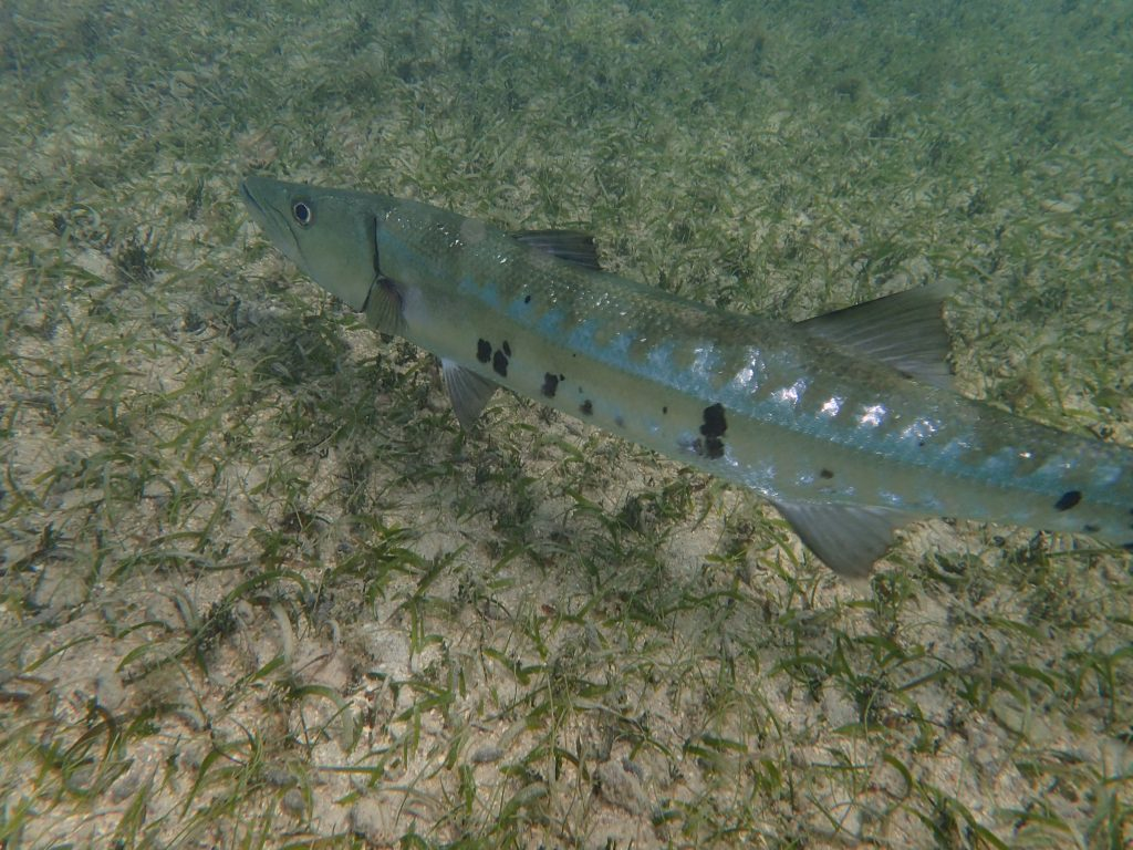 Barracuda