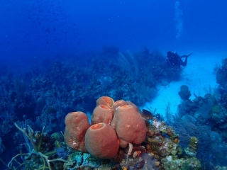Sponges and Diver