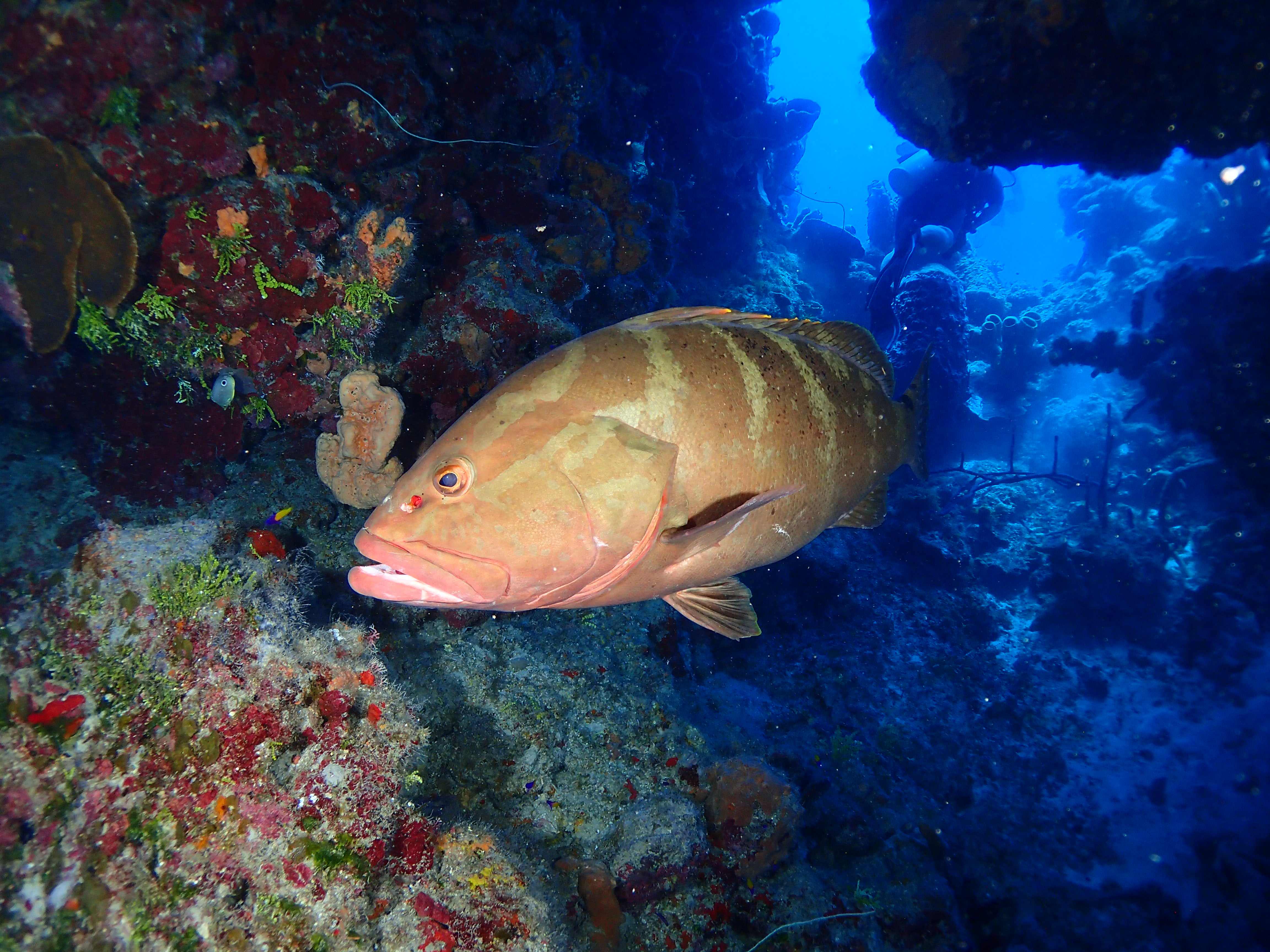 Grouper on the arch near the Russian Frigate