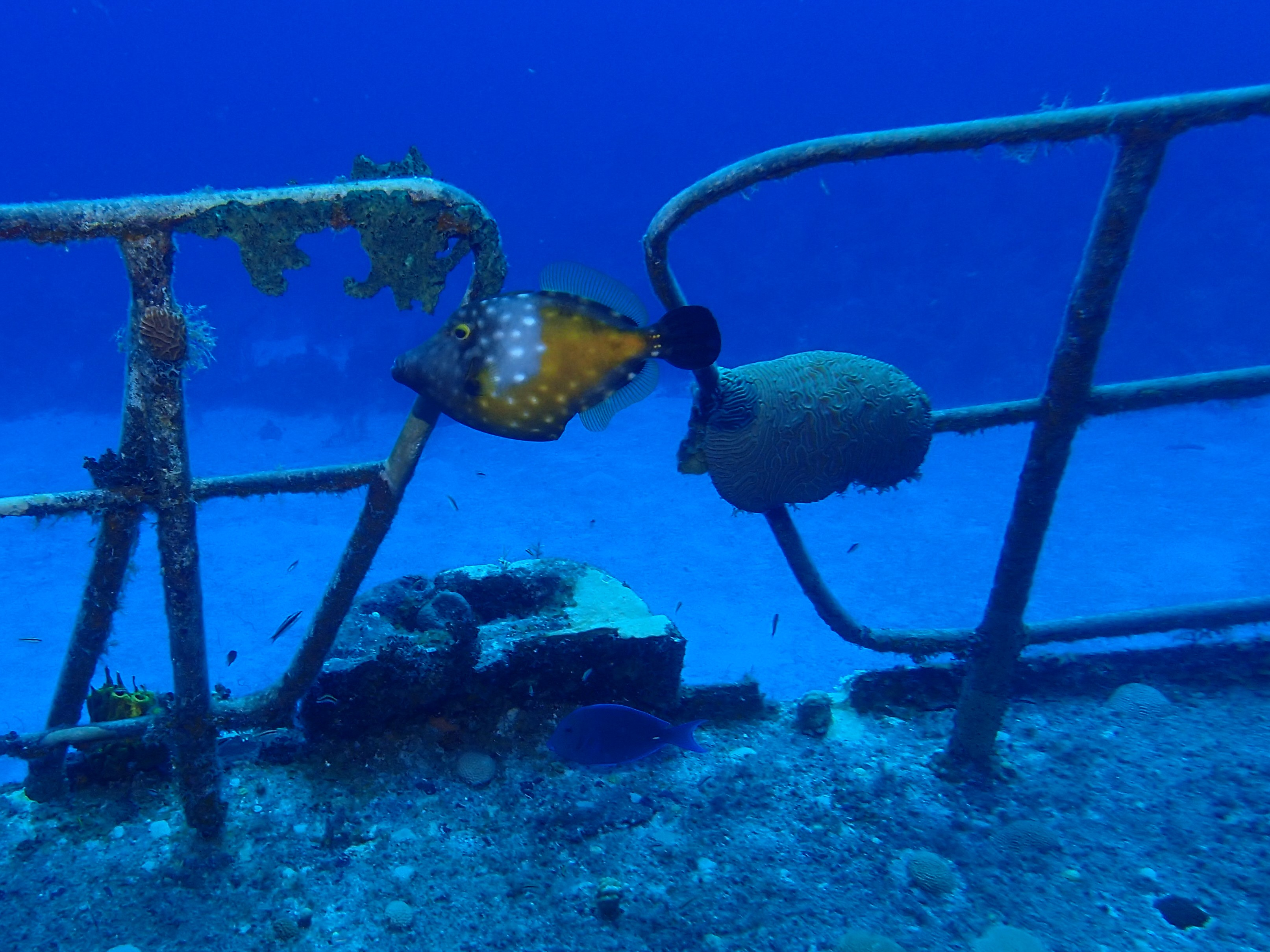 Whitespotted Filefish on the Russian Frigate