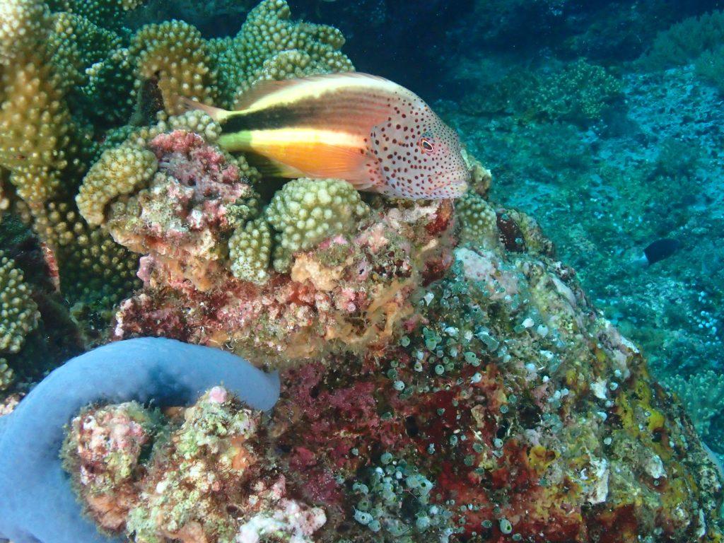 Hawkfish on reef.