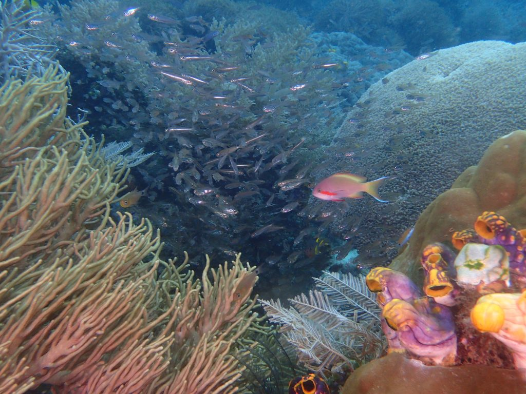 Pseudanthias huchtii, huchtii anthias on reef