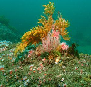 ReefCowrie