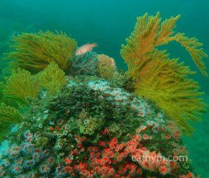 reefsheephead