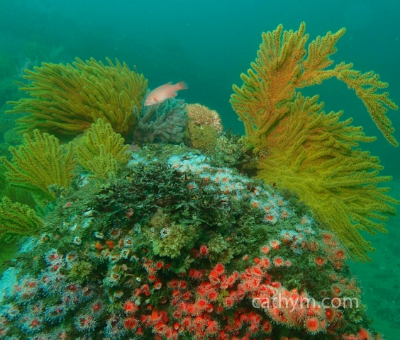 Reef with Anemones, Hydroids, and Juvenile Sheephead