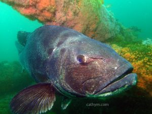 Black Sea Bass in Flower Garden