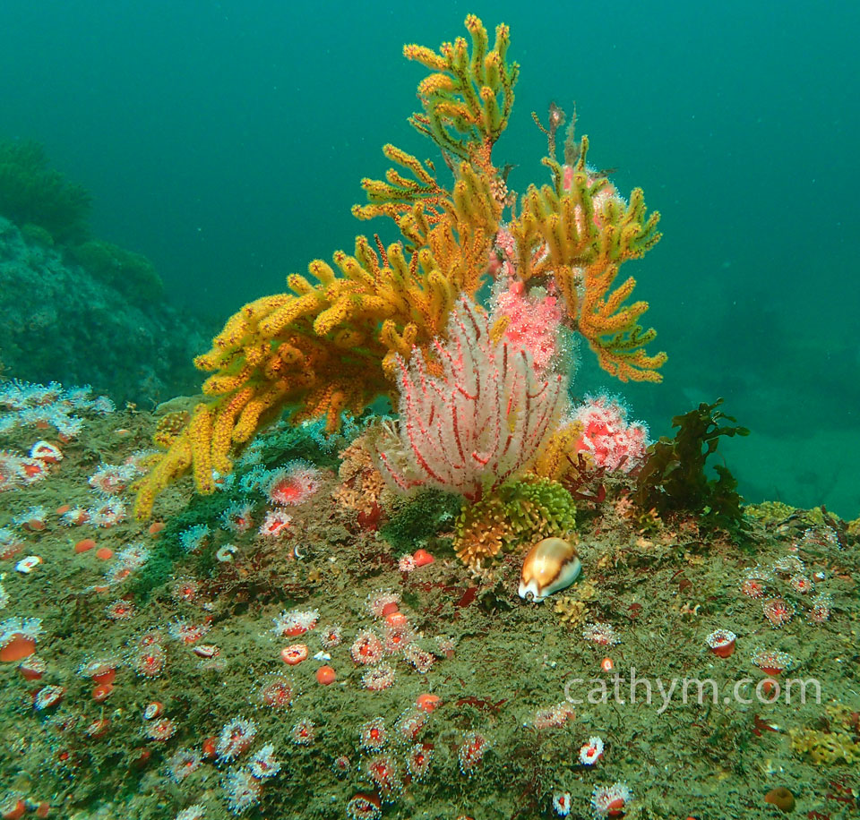 Reef with Cowrie
