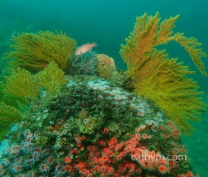 reef and sheephead